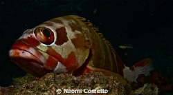 Grouper over stone by Naomi Cometto 